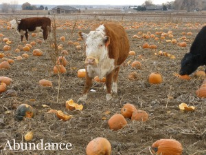 Cattle eating pumpkins in a field in Mead, Colorado