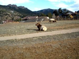 Elk napping at YMCA of the Rockies in Estes Park, Colorado