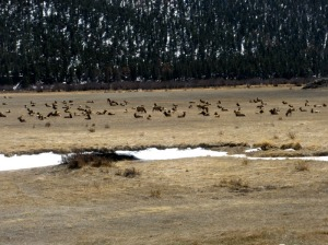 Elk resting in a mountain meadow in Rocky Mountain National Park, CO