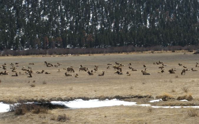 Herd of elk in Moraine Park in Rocky Mountain National Park