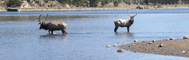 Elk wading in Lake Estes in Estes Park Colorado