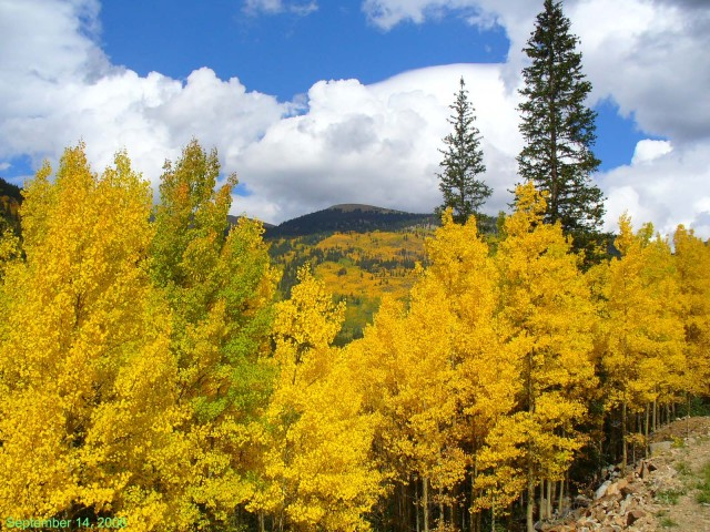 Sept aspens in Colorado