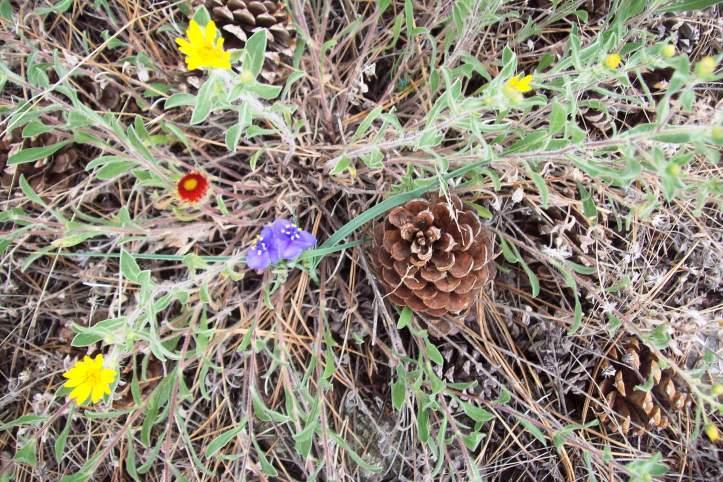 Rocky Mountain flower