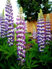 Lupine in full bloom