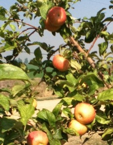 Honey Crisp Apples - U Pick!