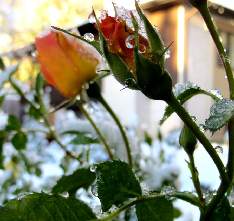 Drops of water/ice on this gorgeous rose in Fort Collins, CO