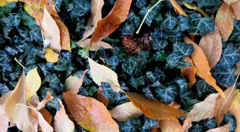 Acorn sitting in the mist of ivy and fallen leaves