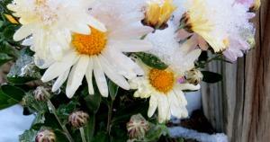 snow daisy3-sm