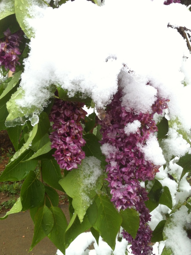 snow on lilacs in Colorado may 11, 2014