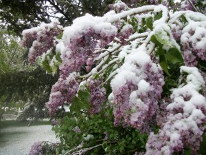 Snow on Mothers Day in Fort Collins - 5/10/14