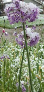 snowy purple