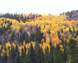 Aspens in Rocky Mountain National Park, Colorado, Sept 2014