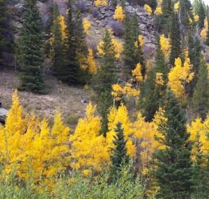 Aspens in Rocky Mountain National Park, Colorado, Sept 2014