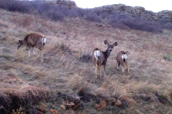 Mule deer grazing during morning walk in Colorado