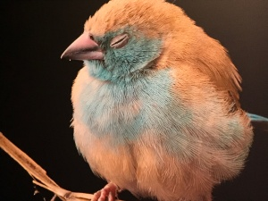 Photo of a /blue wasbill photo from the National Geographic Photo Ark exhibit in Fort Collins, CO